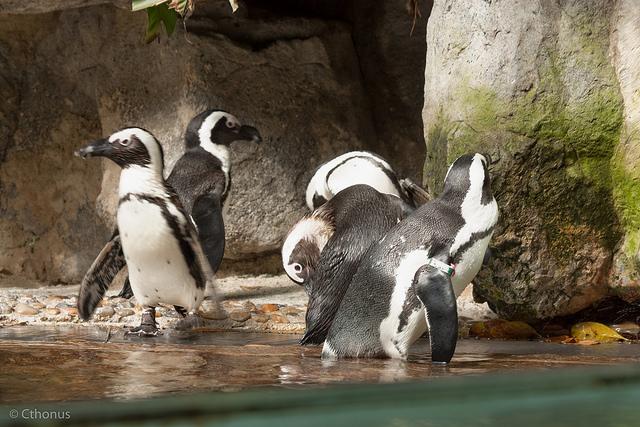 penguin-jackkass-glzoo